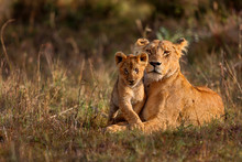 Lion Mother Of Notches Rongai ...