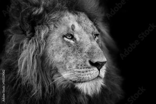 Fotobehang Leeuw Portrait of a big Lion from Rekero Pride in Masai Mara, Kenya
