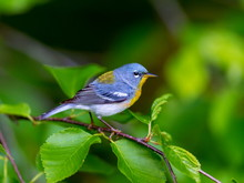 A Small Warbler Of The Upper C...