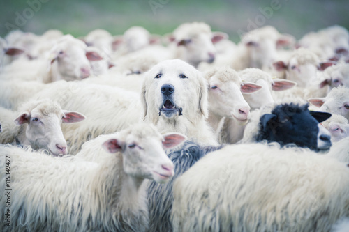 Photographie A shepherd dog popping his head up from a sheep flock