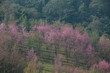 Wild Himalayan Cherry (Prunus cerasoides) at Thailand