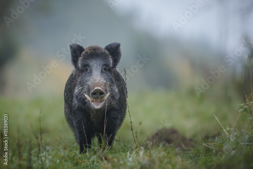 Canvas Print Male boar on a misty morning