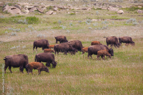 Aluminium Prints Bisons on grassland North Dakota