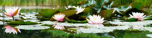 Aluminium Prints Water lilies beautiful flowers lily on water