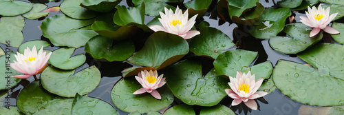 Door stickers Water lilies beautiful flowers lily on water