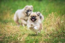 Happy Pekingese Dog Running In The Yard