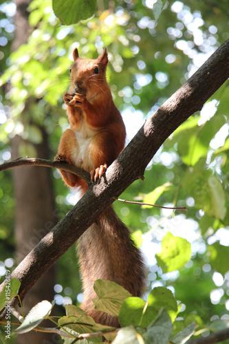 Fotobehang Eekhoorn squirrel in a tree in the summer park