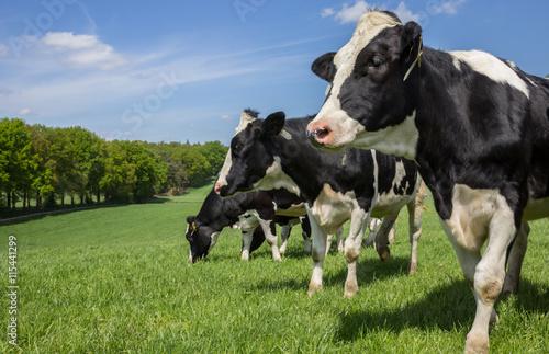 Aluminium Prints Cow Dutch Holstein Zwartbont cows on a hill
