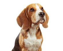 Studio Portrait Of Beagle Isolated On White Background