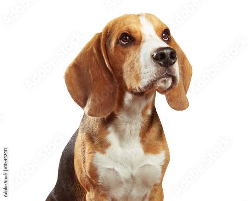 portret-brazowego-beagle-na-bialym-tle