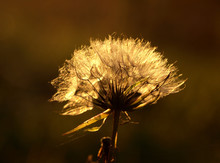 Feathery Seed Head Of The Creeping Thistle