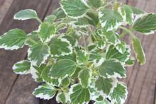 Coleus Plant - Plectranthus Scutellarioides Close Up