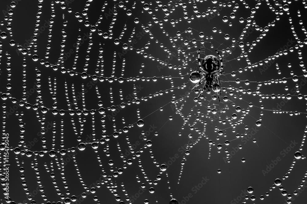 Fototapety, obrazy: Spin in zijn web vol dauwdruppels. Een spinnetje van amper 2mm groot. Een uitvoering in zwart wit.