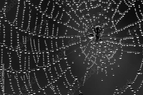 Nature Spin in zijn web vol dauwdruppels. Een spinnetje van amper 2mm groot. Een uitvoering in zwart wit.