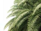 Liście drzewko palmowe na białym tle - 115517636