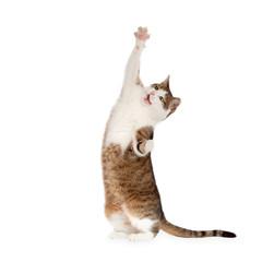 Obraz Katze steht auf Hinterbeinen isoliert