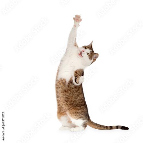 Katze steht auf Hinterbeinen isoliert - 115521622