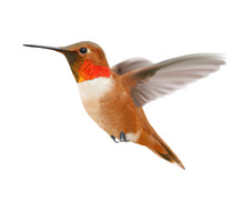 Flying Rufous Hummingbird - Selasphorus Rufus.    Hand Drawn Vector Illustration Of A Hovering Male Rufous Hummingbird With Iridescent Orange-red Throat Patch On Transparent Background.