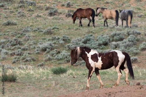 Photo  Wild Mustang