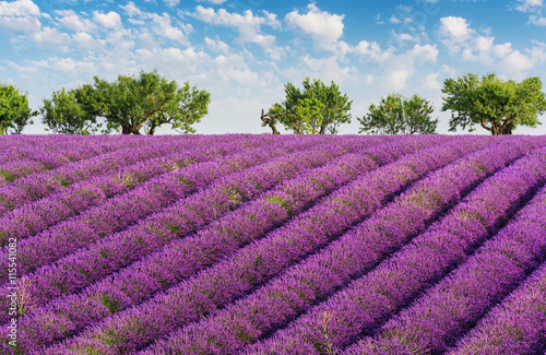 Foto op Canvas Lavendel Rows of lavender, green trees and blue sky with clouds, in the lavender fields of the French Provence near Valensole