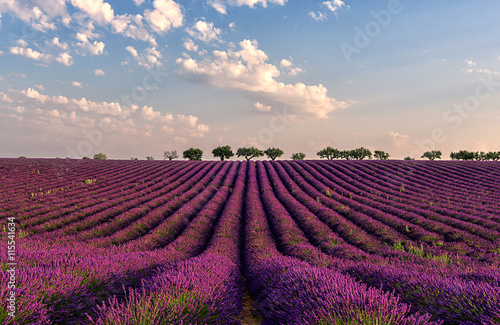 Poster de jardin Grenat Gentle pink sunrise over the endless lavender fields in Provence, France