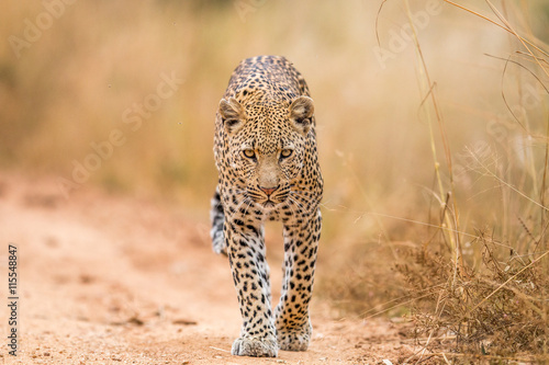 obraz dibond Leopard walking towards the camera.