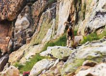Mouflon Sauvage - Mercantour