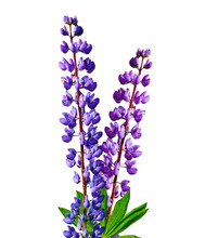 Blue Lupines Beautiful Flowers...