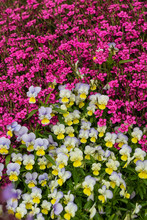 Pansies And Dianthus In The Su...