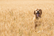 Golden Retriever Dog In Wheat Field