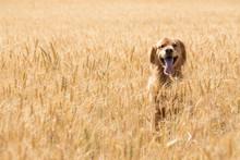 Golden Retriever Dog In Wheat ...