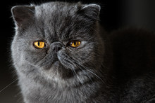 Grey Short Haired Persian Cat