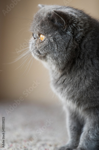 obraz lub plakat Grey short haired Persian cat