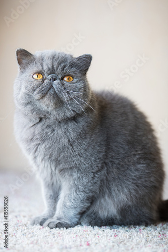 Grey short haired Persian cat - Buy this stock photo and explore