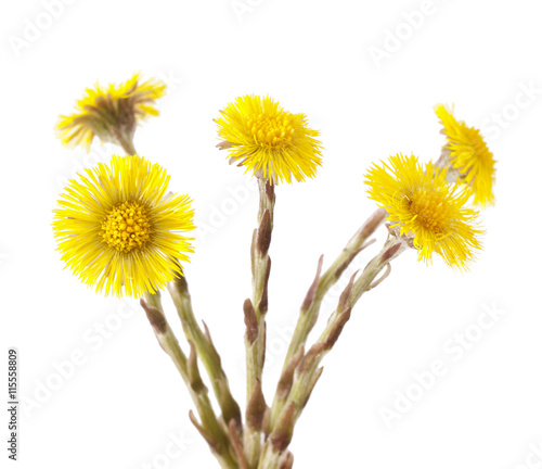 Valokuva  Flowers of coltsfoot (Tussilago farfara) on white background