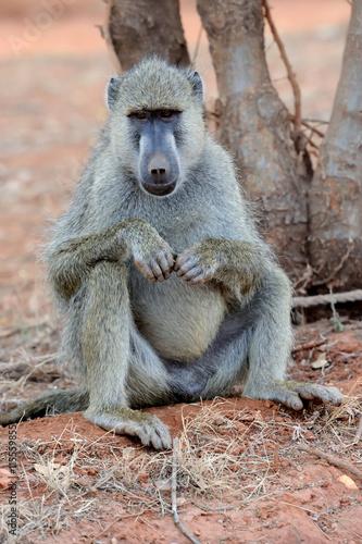fototapeta na lodówkę Baboon in National park of Kenya