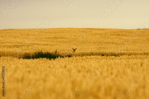 Papiers peints Culture A white tail deer pops up in a wheat field on the Canadian prairie near Milk River, Alberta, Canada.