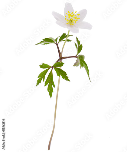 Photo  Wild spring wood Anemone (Anemone nemorosa) isolated on white background