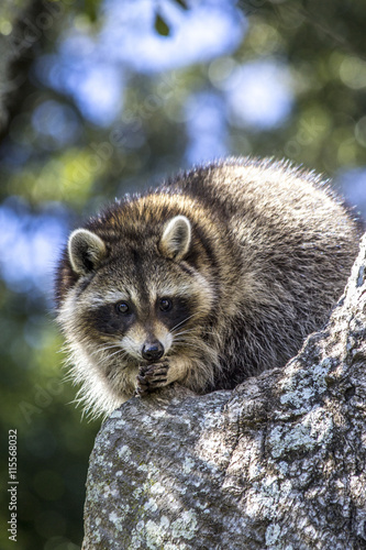 Photo  Raccoon rubbing paws together