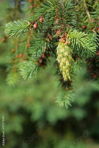 Fotografija  Close-up of fresh growth on an evergreen tree