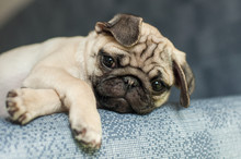 Funny Looking Pale Pug Puppy