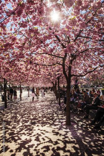 Sweden, Stockholm, Kungstradgarden, Cherry blossom Plakat