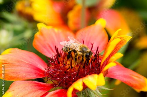 Biene auf einer roten Kokardenblume