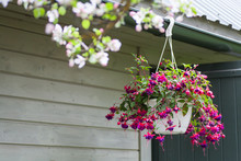 Pink And Purple Bleeding Heart Blossoms Hanging From A Flower Pot