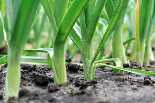 Photo  organically cultivated leek plantation