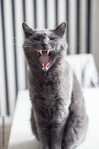 Sweden, Gray cat meowing