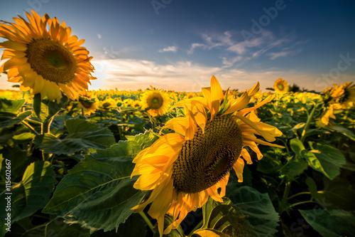 plakat Sunflower in the field