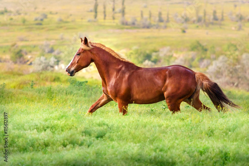 Papel de parede  Red mare trotting in field