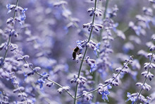 Russian Sage Flower Close-up