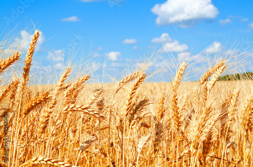 Fotobehang Cultuur Background of wheat field with ripening golden ears